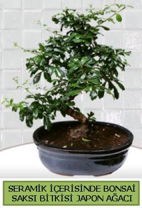 Seramik vazoda bonsai japon ağacı bitkisi  Adıyaman çiçek siparişi sitesi