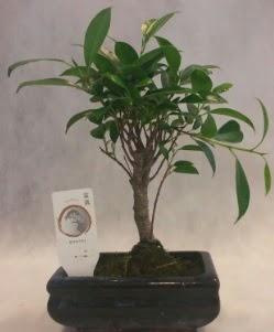 Bonsai japon ağacı bitkisi satışı  Adıyaman çiçek gönderme sitemiz güvenlidir
