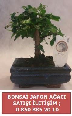 Japon ağacı minyaür bonsai satışı  Adıyaman çiçek satışı