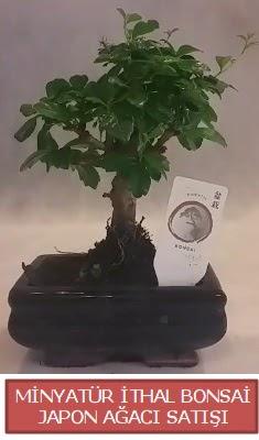Küçük görsel bonsai japon ağacı bitkisi  Adıyaman çiçek , çiçekçi , çiçekçilik