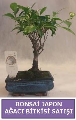 İthal Bonsai japon ağacı bitkisi satışı  Adıyaman İnternetten çiçek siparişi
