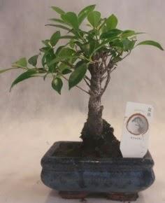 Bonsai ağacı japon ağaç bitkisi  Adıyaman çiçek yolla