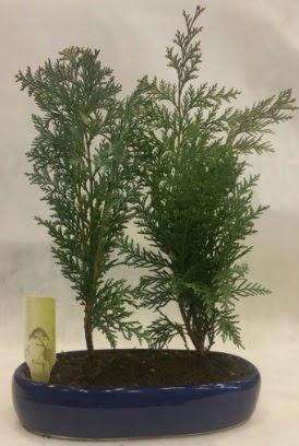 SINIRLI SAYIDA Selvi Ağacı bonsai ikili  Adıyaman çiçekçi telefonları