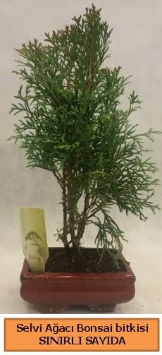 Selvi ağacı bonsai japon ağacı bitkisi  Adıyaman çiçek satışı