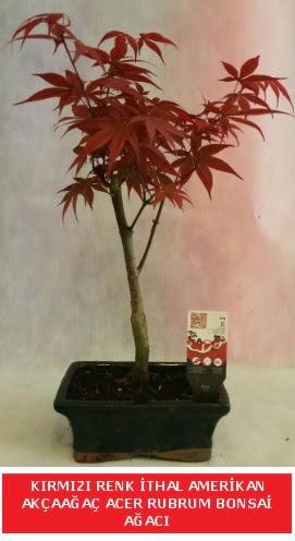 İTHAL ACER RUBRUM BONSAİ AĞACI  Adıyaman çiçek gönderme sitemiz güvenlidir