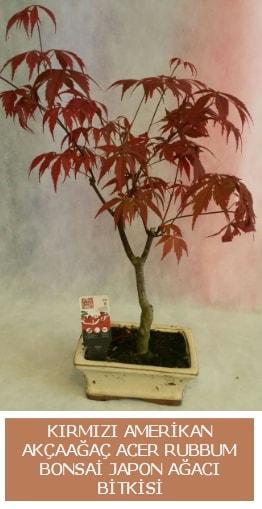 Amerikan akçaağaç Acer Rubrum bonsai  Adıyaman uluslararası çiçek gönderme