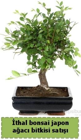 İthal bonsai saksı çiçeği Japon ağacı satışı  Adıyaman İnternetten çiçek siparişi