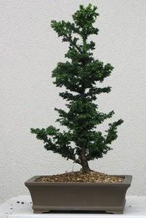 Çam ağacı bonsai bitkisi satışı  Adıyaman çiçekçi telefonları