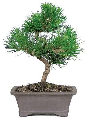 Çam ağacı bonsai japon ağacı bitkisi  Adıyaman çiçek gönderme