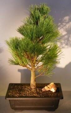 Çam ağacı japon ağacı bitkisi bonsai  Adıyaman çiçekçi telefonları