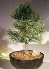 Çam ağacı bonsai bitkisi satışı  Adıyaman ucuz çiçek gönder