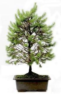*** STOKTA YOK - Çam ağacı bonsai bitkisi satışı  Adıyaman cicekciler , cicek siparisi