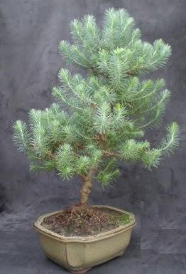Bonsai çam ağacı japon ağacı bitkisi  Adıyaman çiçek gönderme sitemiz güvenlidir