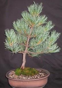 Bonsai çam ağacı japon ağacı bitkisi  Adıyaman çiçek siparişi sitesi