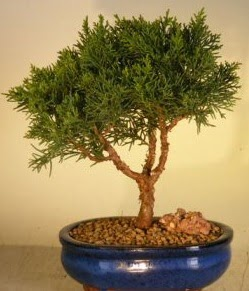 Servi çam bonsai japon ağacı bitkisi  Adıyaman çiçek yolla