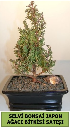 Selvi çam japon ağacı bitkisi bonsai  Adıyaman çiçekçi telefonları