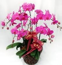 Sepet içerisinde 5 dallı lila orkide  Adıyaman ucuz çiçek gönder