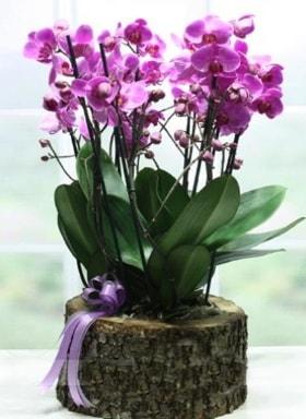 Kütük içerisinde 6 dallı mor orkide  Adıyaman ucuz çiçek gönder