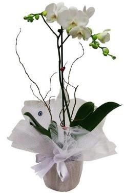 Tek dallı beyaz orkide  Adıyaman cicek , cicekci