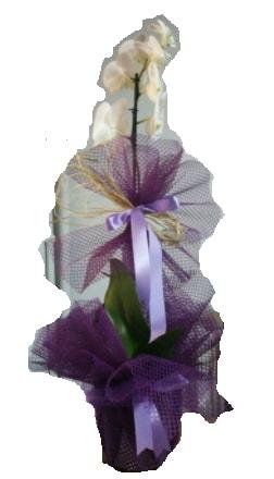 Tek dallı beyaz orkide süper kalite ithal  Adıyaman çiçek siparişi sitesi