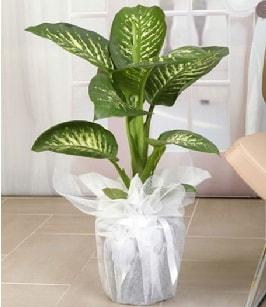 Tropik saksı çiçeği bitkisi  Adıyaman çiçek satışı