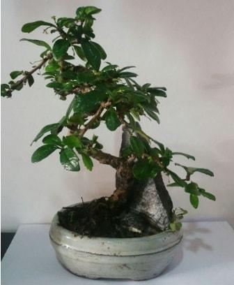 S şeklinde ithal bonsai ağacı  Adıyaman çiçek yolla