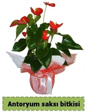 Antoryum saksı bitkisi satışı  Adıyaman çiçek , çiçekçi , çiçekçilik