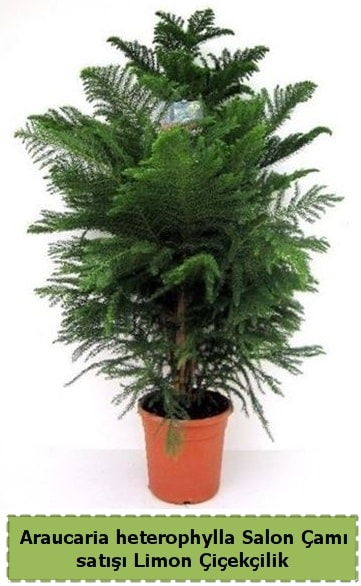 Salon Çamı Satışı Araucaria heterophylla  Adıyaman çiçek satışı