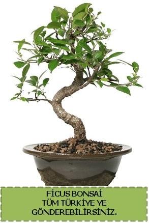 Ficus bonsai  Adıyaman çiçek gönderme sitemiz güvenlidir