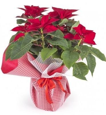 Atatürk çiçeği saksı bitkisi  Adıyaman çiçek gönderme sitemiz güvenlidir