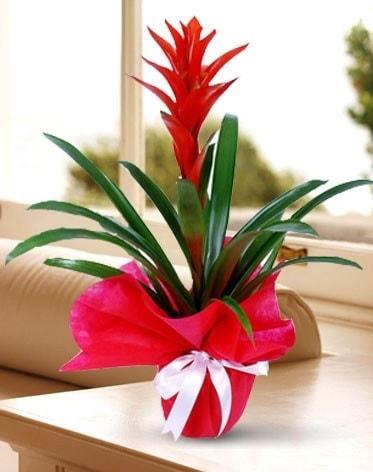 Guzmanya Saksı Çiçeği  Adıyaman çiçek yolla