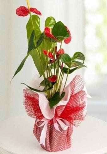 Anthurium Saksı Çiçeği  Adıyaman hediye çiçek yolla