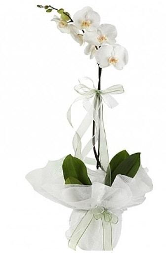Tekli Beyaz Orkide  Adıyaman hediye çiçek yolla