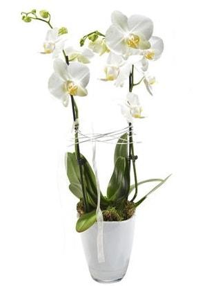 2 dallı beyaz seramik beyaz orkide saksısı  Adıyaman çiçek gönderme sitemiz güvenlidir