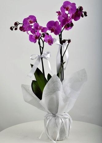 Çift dallı saksıda mor orkide çiçeği  Adıyaman çiçek siparişi vermek