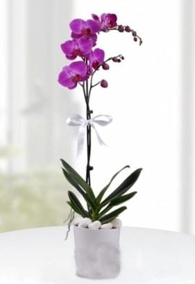 Tek dallı saksıda mor orkide çiçeği  Adıyaman çiçekçiler