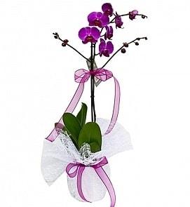 Tek dallı saksıda ithal mor orkide çiçeği  Adıyaman çiçekçiler