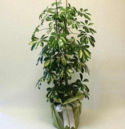 Şeflera salon bitkisi  Adıyaman çiçek gönderme