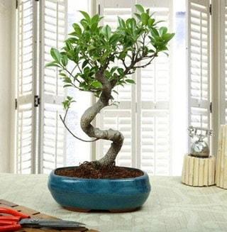 Amazing Bonsai Ficus S İthal  Adıyaman internetten çiçek siparişi