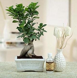 Ginseng ficus bonsai  Adıyaman çiçekçiler