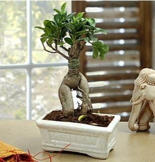 Marvellous Bonsai ginseng  Adıyaman çiçek siparişi sitesi