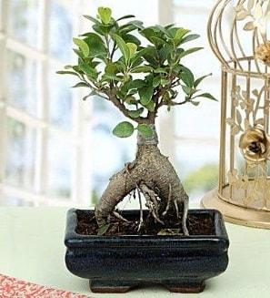 Appealing Ficus Ginseng Bonsai  Adıyaman anneler günü çiçek yolla