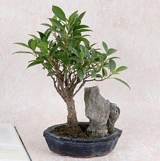 Japon ağacı Evergreen Ficus Bonsai  Adıyaman çiçek gönderme sitemiz güvenlidir