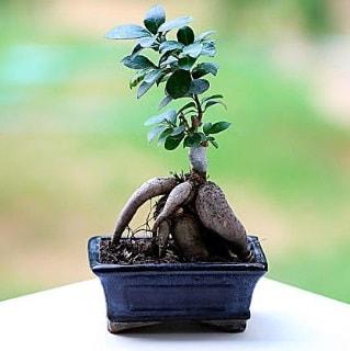 Marvellous Ficus Microcarpa ginseng bonsai  Adıyaman çiçek siparişi vermek