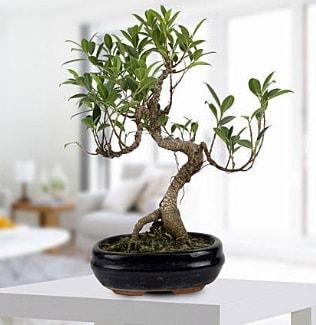 Gorgeous Ficus S shaped japon bonsai  Adıyaman yurtiçi ve yurtdışı çiçek siparişi
