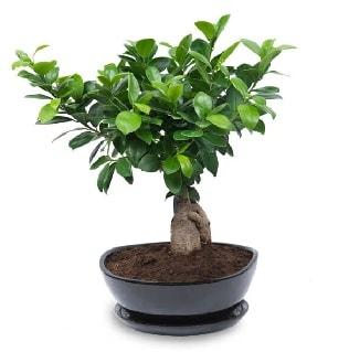 Ginseng bonsai ağacı özel ithal ürün  Adıyaman internetten çiçek satışı