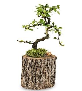 Doğal kütükte S bonsai ağacı  Adıyaman çiçek satışı