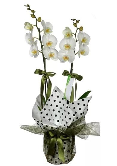 Çift Dallı Beyaz Orkide  Adıyaman 14 şubat sevgililer günü çiçek