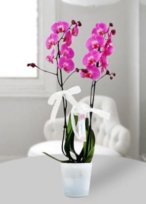 Çift dallı mor orkide  Adıyaman çiçekçiler