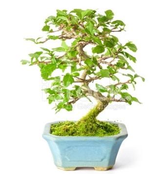 S zerkova bonsai kısa süreliğine  Adıyaman İnternetten çiçek siparişi